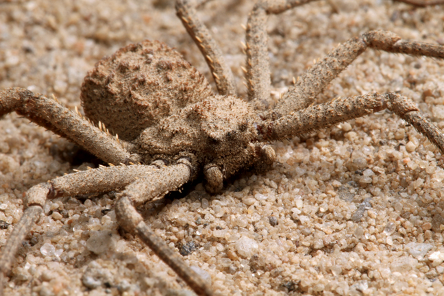 Six_Eyes_Sand_Spider2
